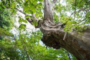 座・座的初夏:サルスベリの老木